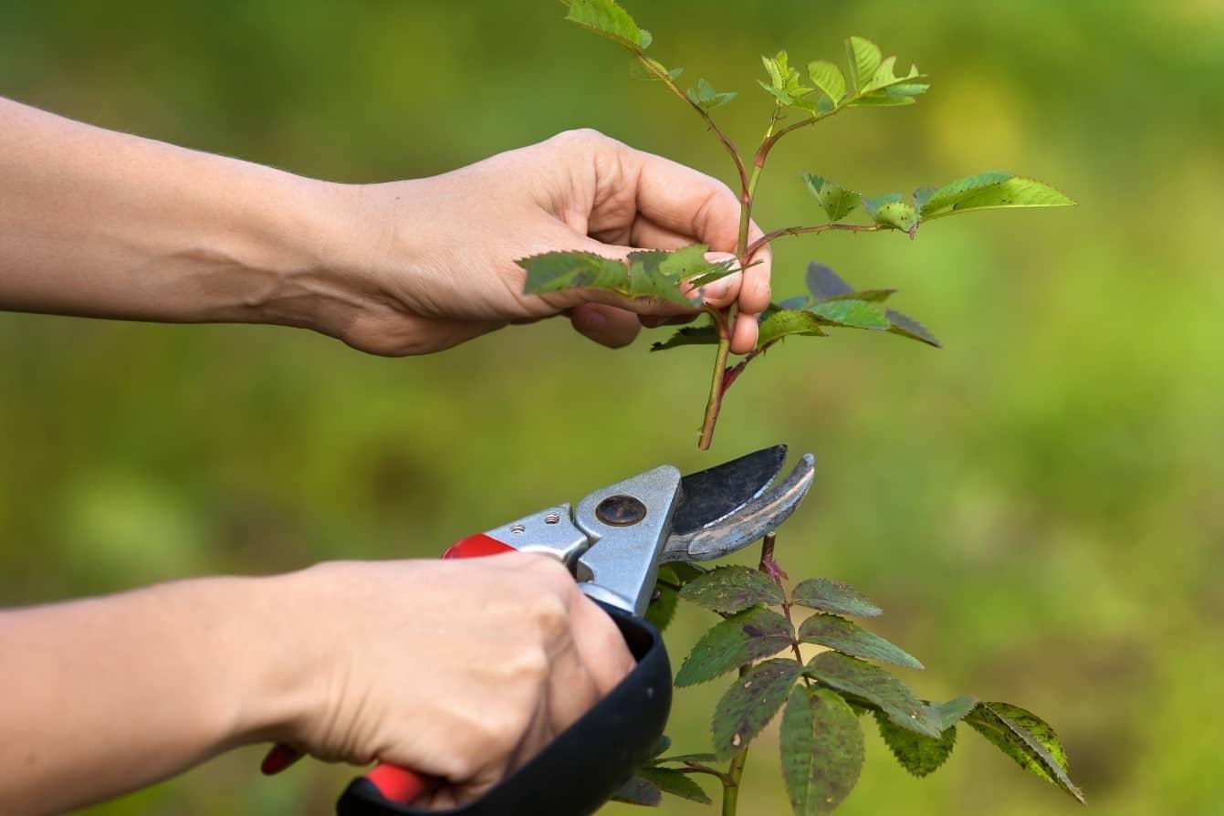 lubrifierea foarfecii de grădină